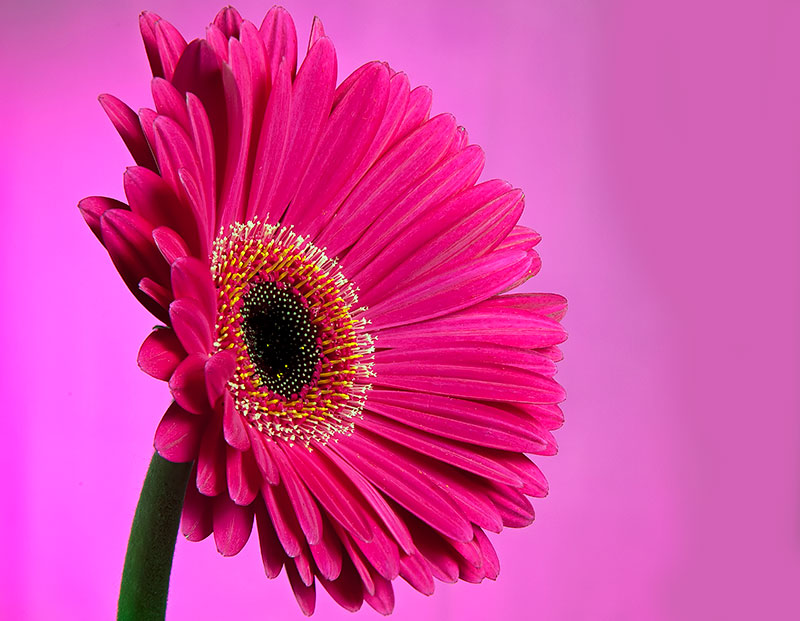 great beautiful pink daisies flower