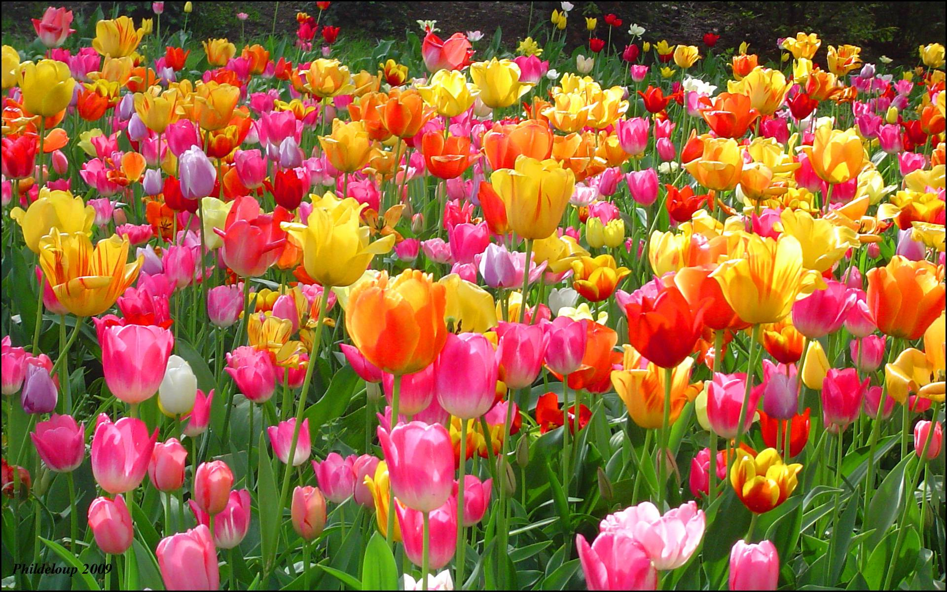 colorful tulips image