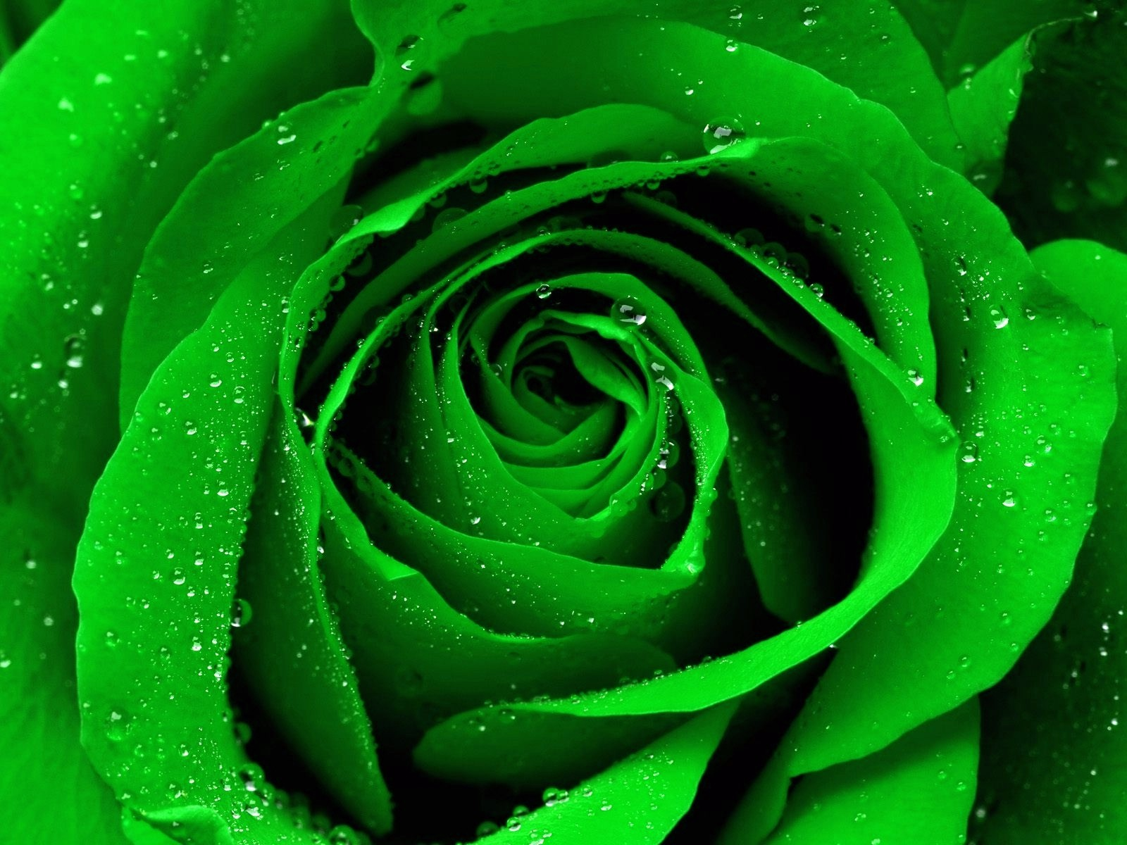 awesome nature Green Rose Background