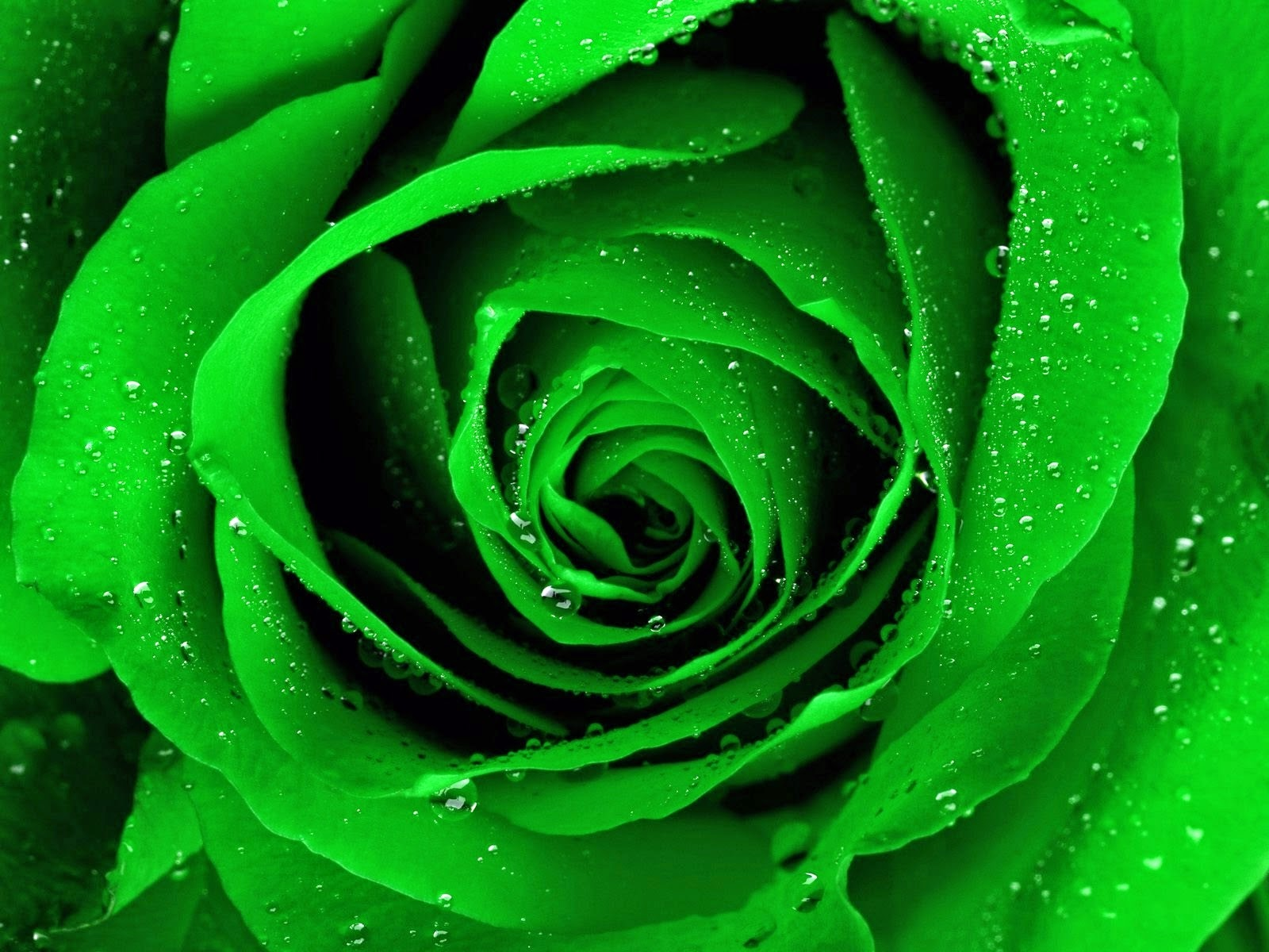 drop of water Green Rose Background