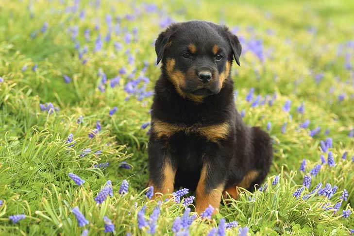 top hd Rottweiler Pictures