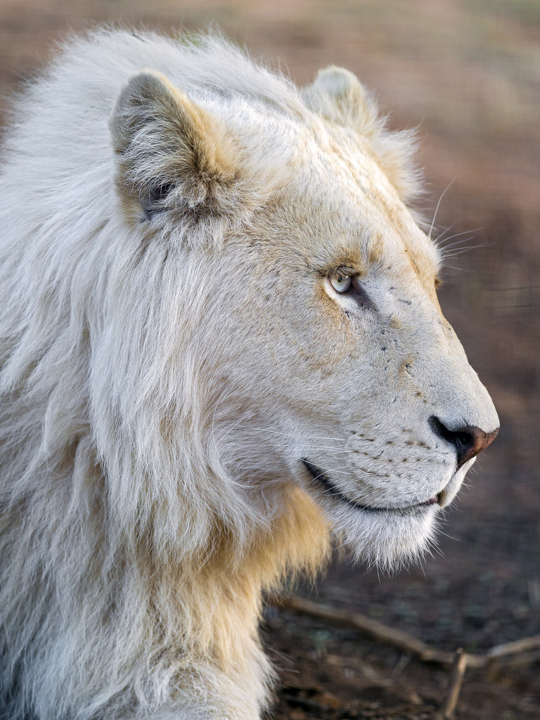 awesome White Lion Pictures