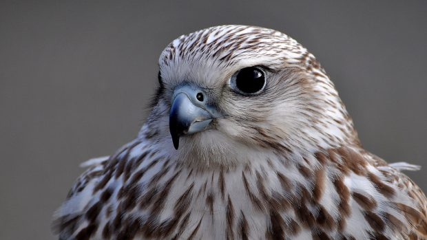 awesome bird Falcon Backgrounds