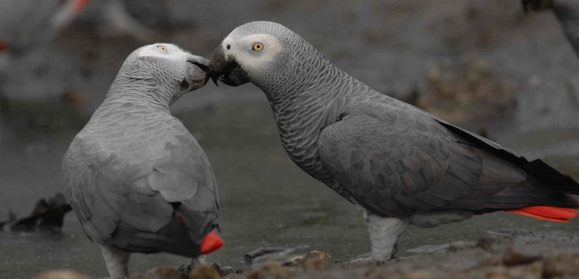 awesome Grey Parrot image