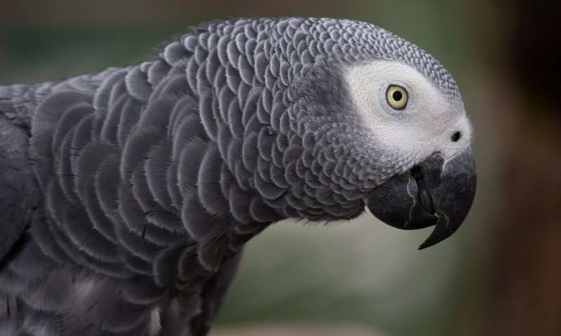 intelligence african Grey Parrot