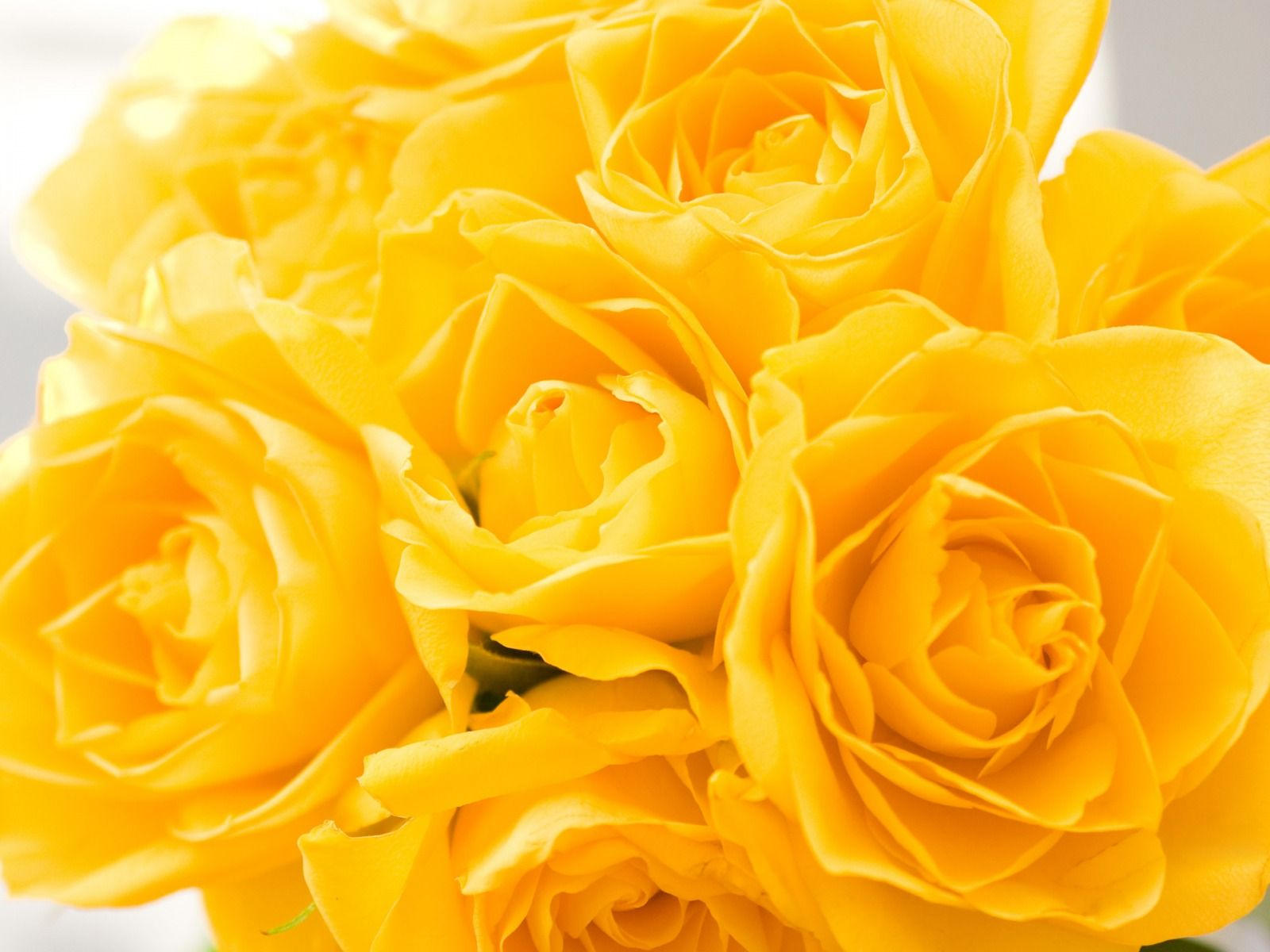 most popular Yellow Rose Background