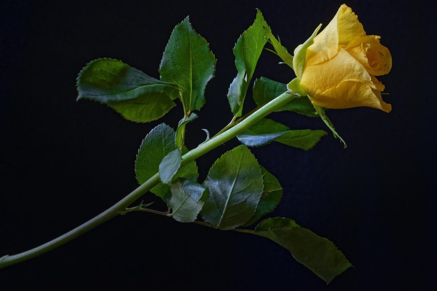 widescreen nature Yellow Rose Background