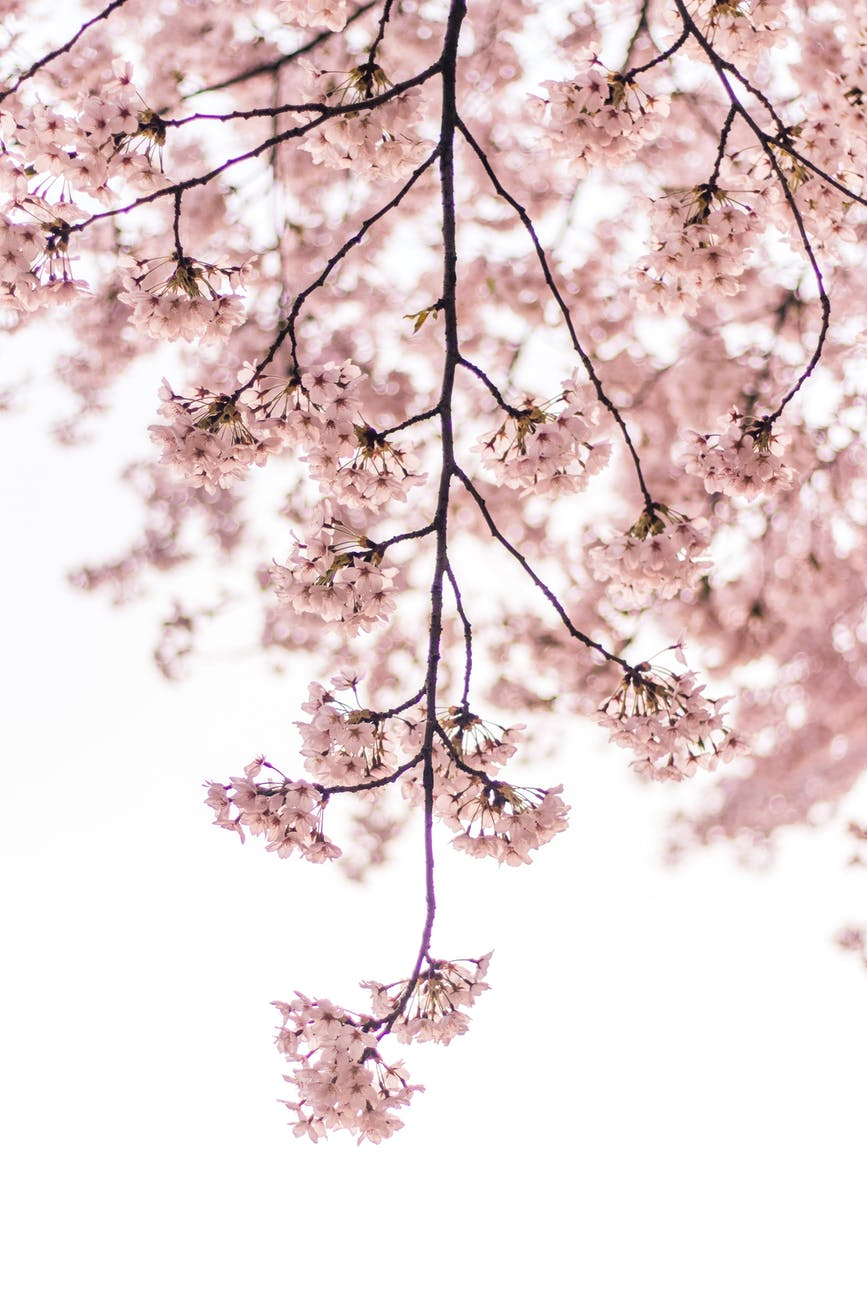 free natural Blossom Background