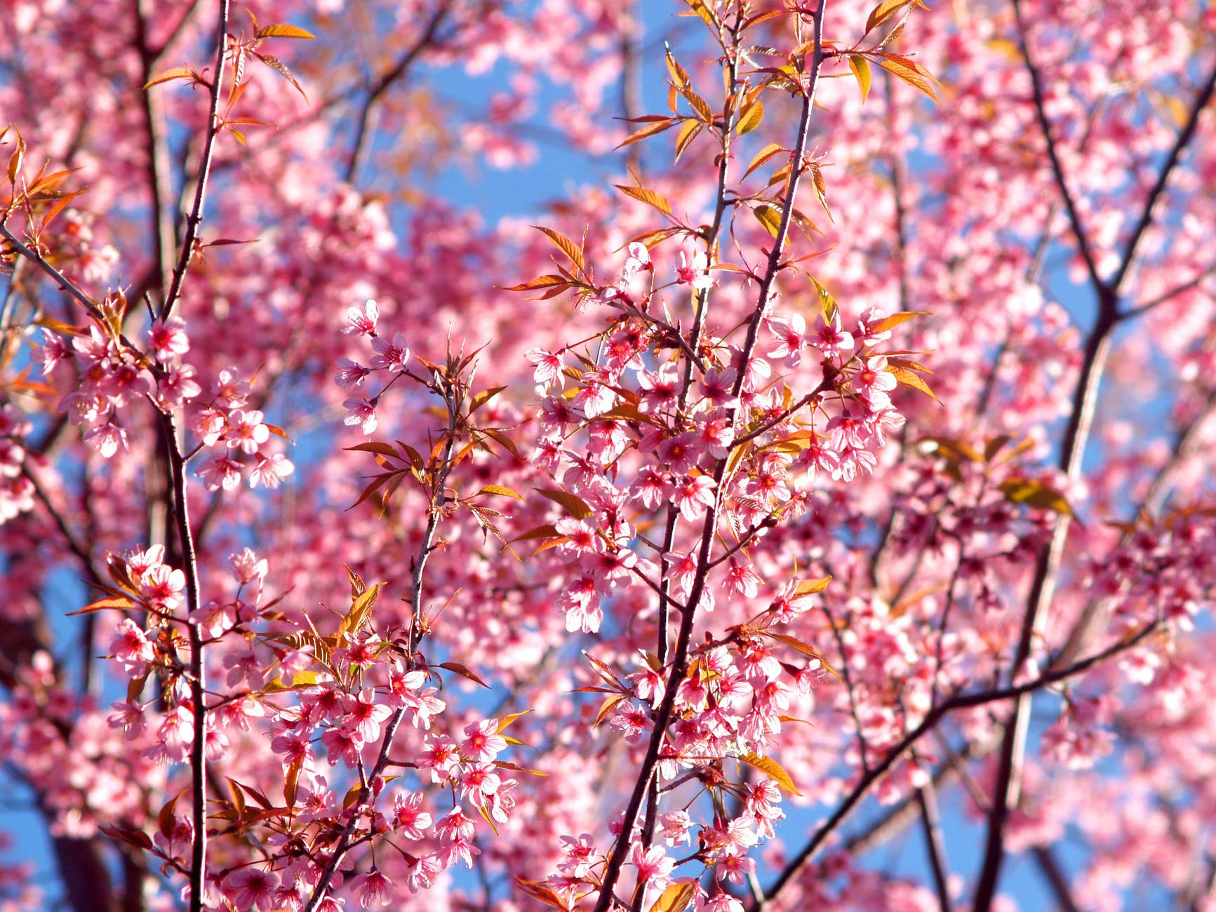 pink nature Blossom Background