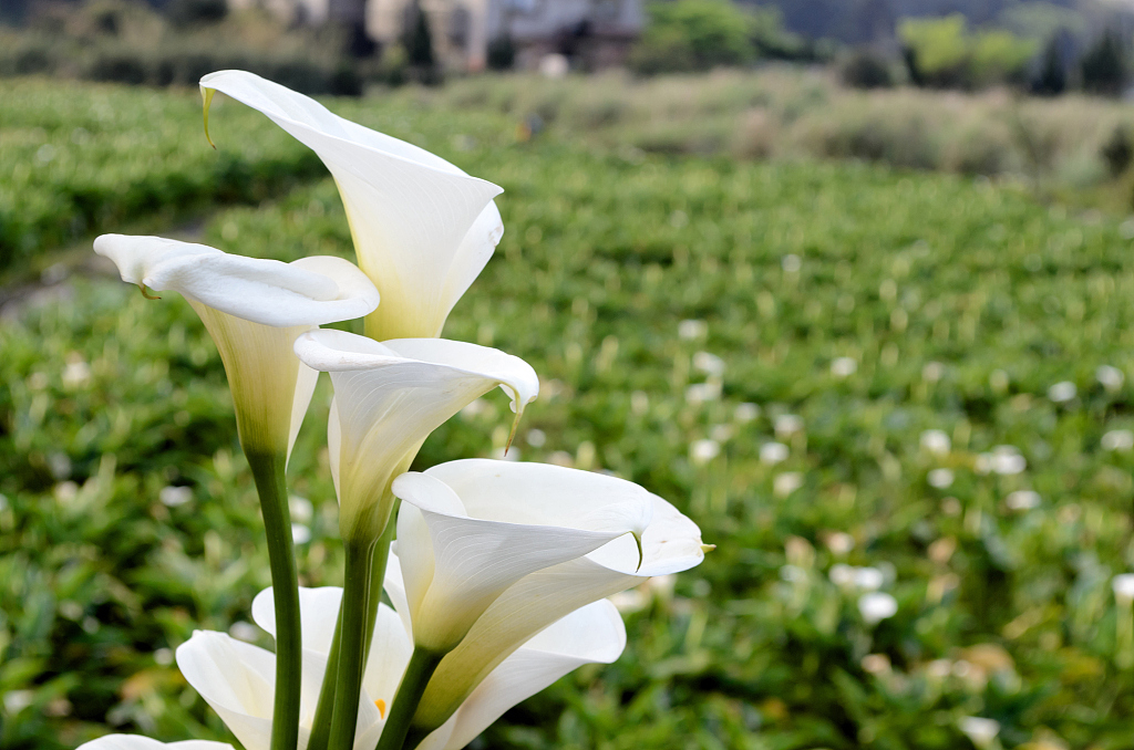 green field Lily Flower image