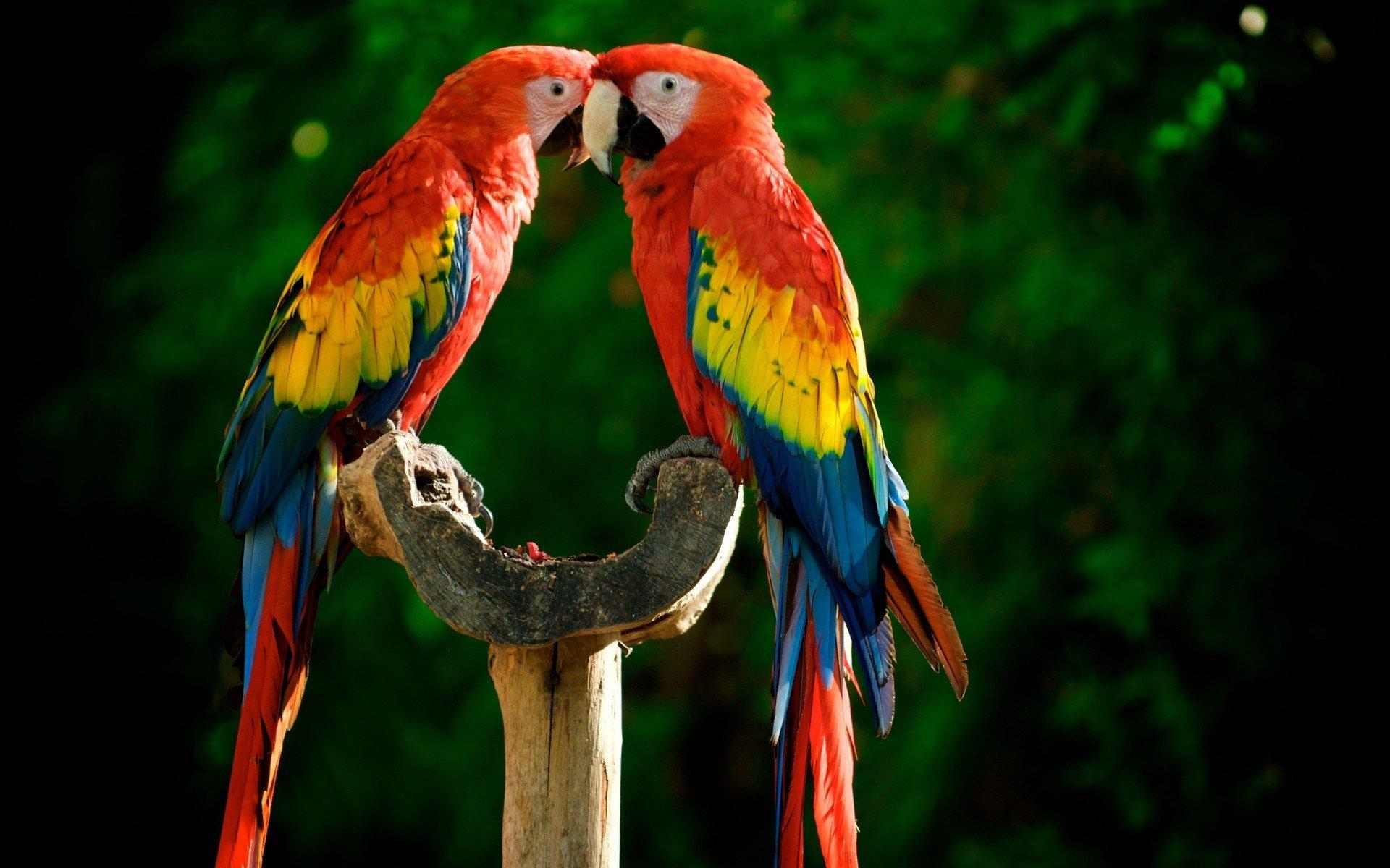 high quality Macaw Wallpaper